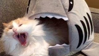Download LAUGH SO HARD YOU'LL CRY - Funniest CAT VIDEOS compilation Video