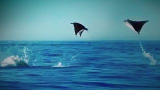 Download Hundreds of Manta Rays Leap into the Air Video