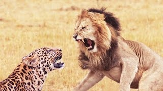 Download Lion and Leopard Fights Video