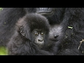 Download Many primate species face threat of extinction Video