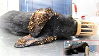 Download Puppy covered in thousands of ticks and with embeded wire on her tail makes an amazing recovery Video