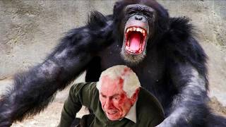 Download World's Worst Chimp Attacks! Chimpanzees, Apes and Bites Video