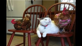 Download This Cat Has No Idea Why Chickens Are So Obsessed With Him... Video