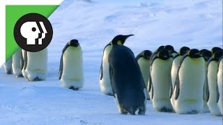 Download How Penguin Moms Find Their Chicks Video