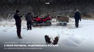 Download 2 лося погибли, зацепившись рогами Video