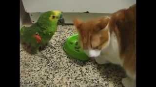 Download EPIC! Parrot vs Cat food fight. Video