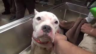 Download Pitbull Kurtarma Operasyonu (Bakamayacaklar Sahiplenmesin ) Video