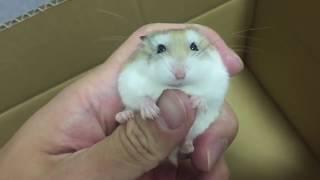 Download ハムスターを飼うときに絶対にしないでほしいこと Video