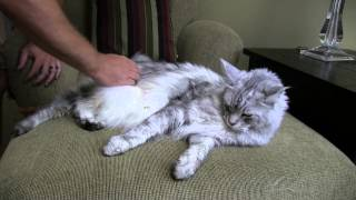 Download How to Brush a Cat - BIG Maine Coon Cat Video