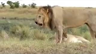 Download zebra attack and kill lion lion severely injured on zebra attack Video