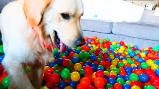 Download GOLDEN RETRIEVER VS BALL PIT (Super Cooper Sunday #80) Video