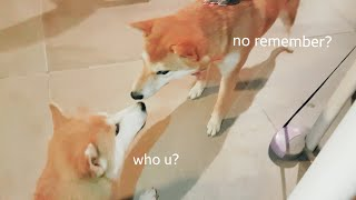 Download Sad reacc onli 😥 MLIP / Ep 166 / Shiba Inu puppies Video