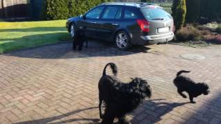 Download Special Moments! Portuguese Water Dogs Video