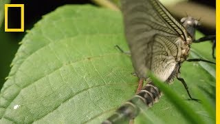 Download Les éphémères, insectes surprenants Video