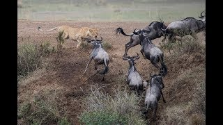 Download Amazing lion kill in slow motion! Video