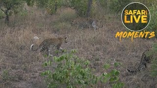 Download Another Leopard Family Reunion at Djuma! Video