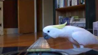 Download WOW! Guitar Playing parrot - funny pet bird cockatoo video! Video