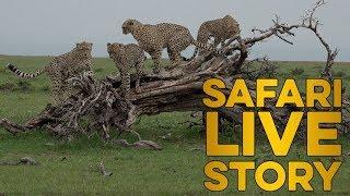 Download safariLIVE celebrates International Cheetah Day 2018 Video
