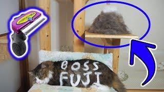 Download 猫毛の富士山出現!?大型猫長毛種のファーミネーター【FURminator】 Video