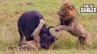 Download Dramatic Lion Action: Lions Stalk And Catch Buffalo Cow & Newborn Calf!! Video