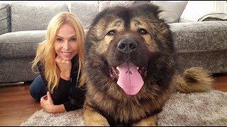 Download WOLF KILLER? THE CAUCASIAN SHEPHERD OVCHARKA DOG Video