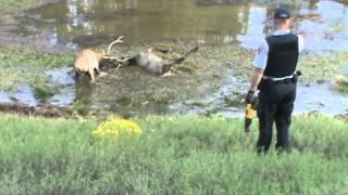 Download Arizona bull elk locked horns 2013 - sad ending 4 Video