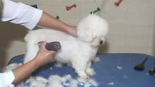 Download Aula 02 - Tosa Carneiro (Poodle) - Curso de Estética Animal - IEP - Roseli Figueiredo Video