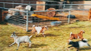 Download We let the baby goats out and they LOVED it. Video