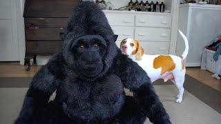 Download Dog Falls in Love with Stuffed Gorilla: Cute Dog Maymo Video