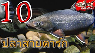 Download 10 อันดับ ปลาสวยงามน่าเลี้ยง น้ำจืด EP.3ปลาใหญ่สายดาร์ก   ปลาสวยงาม   Bunlaikan-บรรลัยกัล Video