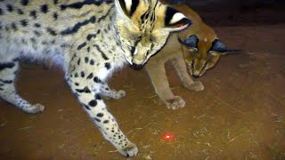 Download Which African BIG & Small Cats Play With Laser Light Toys? | Cheetah Leopard Lion Caracal Serval Video