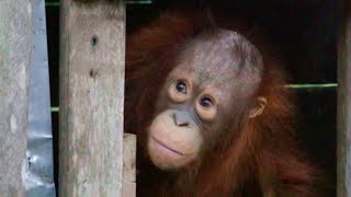 Download Orangutan Rescued after Two Years in a Cage | Red Ape: Saving The Orangutan | Earth Unplugged Video