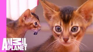 Download Abyssinian Remy Steals the Spotlight   Too Cute! Video