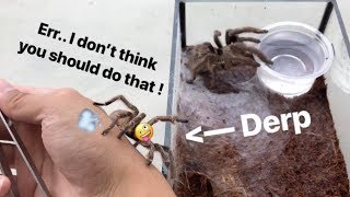 Download *Twerking* tarantula MEETS a FEMALE for the FIRST TIME !!! (Not very wise moves.) Video