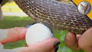 Download Snake Eats a Golf Ball! Video