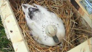 Download Egg Swap (HOW TO get more babies in a hatch) Video
