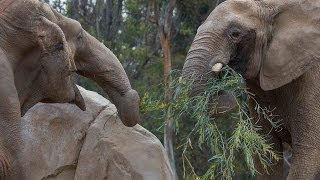Download Elephants Holding Tails - Mary Meets Mila at the San Diego Zoo Video