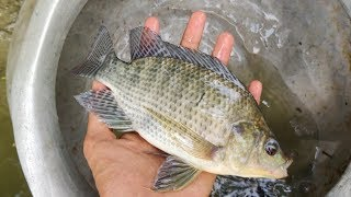 Download Huge Tilapia and Other Fish are Caught in The Cast Net | Traditional Fishing Video