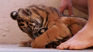 Download Living With Tiger Cubs   Tigers About The House   BBC Video