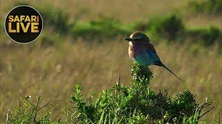 Download safariLIVE - Sunrise Safari - September 10, 2018 Video