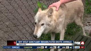 Download Shy Wolf Sanctuary rescues wild, exotic animals - 8:30am live report Video