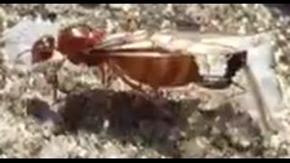 Download Queen Ant Mating With King Ant Video