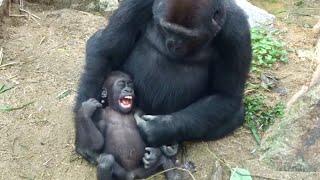 Download ('19/10/20)ゲンタロウとキンタロウ 18⭐️ゴリラ【京都市動物園】Gorilla brothers gentaro & kintaro 18 Video