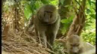 Download Baboons vs chimpanzees - BBC wildlife Video