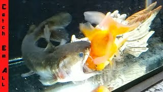 Download GOLDFISH SURVIVES the BLOB CATFISH! Video