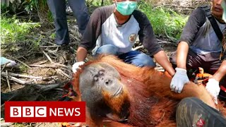 Download Leuser : Are palm oil farmers shooting orangutans?- BBC News Video