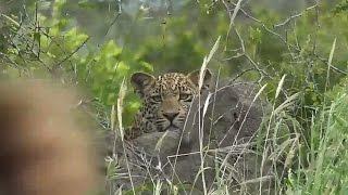 Download SafariLive Feb 26 Leopard Hosana stalking the bushwalk crew! Video