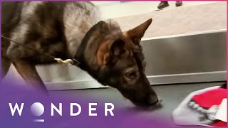 Download Dog Finds Drugs In Airplane | K9 Mounties S1 EP5 | Wonder Video