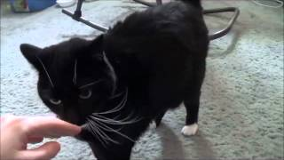 Download Saying hello to my tuxedo cat Cola, and getting a friendly greeting from her 2-28-15 Video