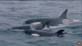 Download Les orques de Crozet : David et les Goliaths - Documentaire animalier Video